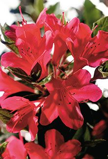 "Autumn Ruby™ | Encore® Azalea: The compact growth habit of this dainty variety makes it well suited for small gardens.    Bloom Color:	Red  Plant Size:	Dwarf  Height:	2.5 feet  Spread:	3 feet  Bloom Span:	1.25"" across  Bloom Form:	Single  USDA Zones:	6a, 6b, 7, 8, 9"