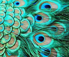 "Peacock feathers = pride, nobility and glory. Peacocks are also known to eat poisonous plants with no ill effects, making their feathers a symbol of incorruptibility and immortality.   Stunning in its beauty, the Peacock is considered the manifestation of the celestial Phoenix on earth. Its mesmerizing colors and the ""thousand eyes"" look on its tail is considered to promote fame, luck in feng shui, as well as enhance one's protection and awareness."