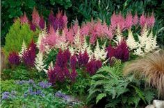 Color in shade garden: Astilbes. Gorgeous in shade garden. Complement with hosta, bleeding hearts, primrose, lenten roses, and other shade loving plants. Shade Garden Plants, Garden Shrubs, Terrace Garden, Flowering Plants, Garden Bed, Shade Flowers, Fall Flowers, Purple Flowers, Outdoor Plants