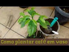 PLANTANDO MUDA DE CAFÉ NO VASO PASSO-PASSO - YouTube