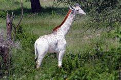 Gorgeous Rare White Giraffe Spotted in Tanzania