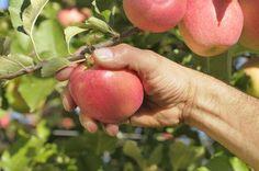 Manzanas para una vida sana vía @florgragera - Contenido seleccionado con la ayuda de http://r4s.to/r4s