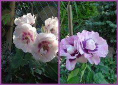 Роза флорибунда«EYES FOR YOU».jpg