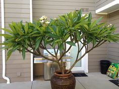 My yellow plumeria tree. Potted Trees, Flowering Trees, Trees To Plant, Tropical Landscaping, Tropical Garden, Garden Landscaping, Balcony Plants, Indoor Plants, Plumeria Tree