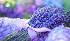 Lavender oil benefits are uncountable.The lavender essential oil reduces stress,hairfall, treats dandruff etc.Also having lavender plant in room is. Lavender Plant Care, Dried Lavender Flowers, Growing Lavender, Lavender Plants, Fresh Flowers, Lavender Oil, Lavender Varieties, French Lavender, Organic Gardening