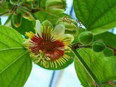 Passiflora holosericea: beschrijving, verzorging & vermeerdering.