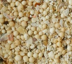 Foraminifera in sand collected by Connie N. at Jimbaran Beach, Bali.    From throughthesandglass.com.