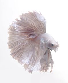 If you think fish are boring pets, these glamorous portraits of bettas and goldfish are sure to change your mind.