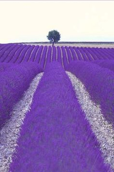 Provence France with Violet Purple fields of flowers Purple Love, All Things Purple, Purple Rain, Shades Of Purple, Purple Stuff, Purple Flowers, Bright Purple, Lavender Blue, Lavender Fields