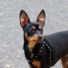 Cuidados del perro ratón de Praga #perro #mascota #animales