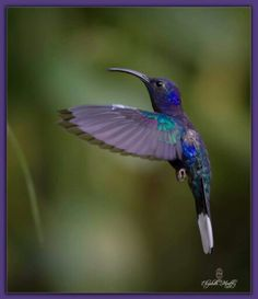 Purple Hummingbird | La Beℓℓe ℳystère
