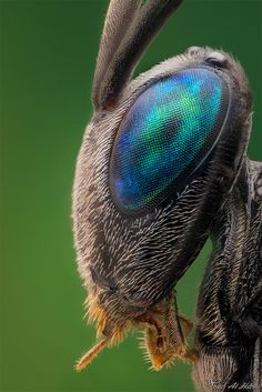Ensign Wasp - opal blue and green colors in a bug's eye - you can see all the individual cells that gives vision to this insect, and hairs like fur - such detail, such designed TINY MIRACLES creation! #DdO:) - https://www.pinterest.com/DianaDeeOsborne/tiny-miracles/ - Pinned via Robert Monroe's HOLY MACRO #Pinterest board.