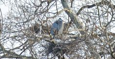 Great blue heron in its nest