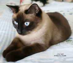My Sam is a choclate (darker than this pic) Siamese and he is huge.