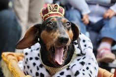 dog king | Sausage Dog king, a photo from Malopolskie, East | TrekEarth