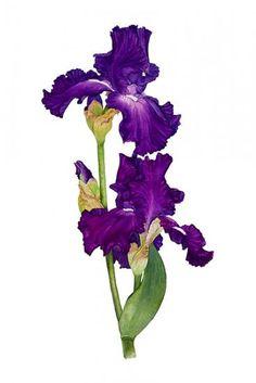 Carolyn J. Cappello   American Society of Botanical Artists