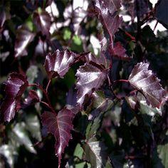 Royal Frost Birch