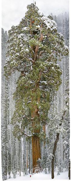 【デカッ!】樹齢3200年の「セコイアの木」 進撃の巨人に出てくるレベルのサイズだろコレw