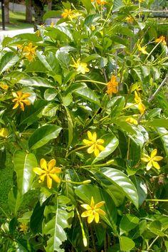 Flower colour on Gardenia gjellerupii can vary depending on temperature and age of flower