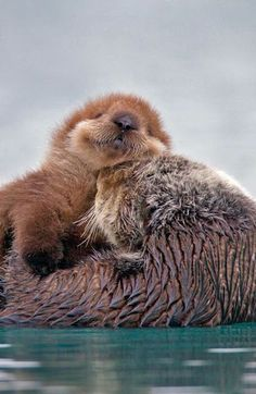cutie Sea Otter pup on Mom. Little cutie Sea Otter pup on Mom., Little cutie Sea Otter pup on Mom. Cute Funny Animals, Cute Baby Animals, Animals And Pets, Animals Sea, Animals Photos, Otters Cute, Baby Otters, Otters Funny, Baby Sloth