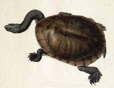 BibliOdyssey: Turtle Diary