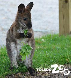 Wallaby. www.toledozoo.org
