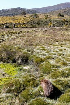 A wombat wandering the plains at Cradle Mountain. Image Credit: Eli Duke