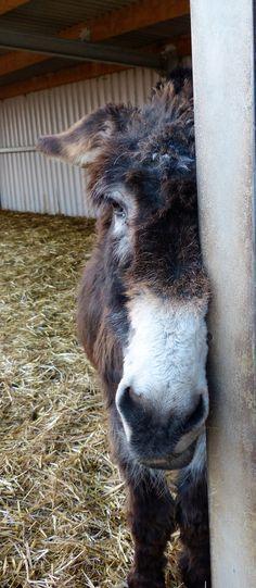 I'm a bit shy... - Jack @islandfarmdonks http://www.donkeyrescue.co.uk/adopt-jack