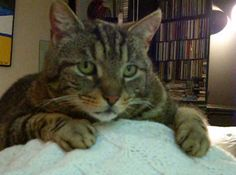 Maxi: A Strong Silent Tabby Cat With A Heart Of Gold  ... see more at PetsLady.com ... The FUN site for Animal Lovers