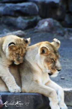 Mother and son, lion, zoo, animals