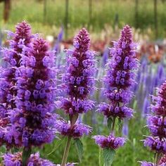 Agastache blue boa: grows tall. A healthy #perennial that is covered in flower spikes from early summer to late fall, and provide winter interest. Heat and humidity tolerant and will bloom for you early and often. The scented leaves are great for flavoring drinks!