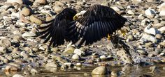 eagle fishing - This eagle dived at high speed to catch this salmon. i captured this image at the right moment in Squamish. Rocky Mountains, Eagles, Salmon, Wildlife, In This Moment, Fishing, Animals, Image, High Speed