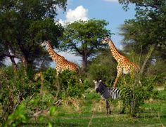 Beautiful shot of giraffe and zebra in Tanzania