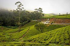 Sri Lanka, Nuwara Eliya, Tea plantation