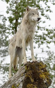 Alaska's rescue Wolf just as mesmerising at its epic scenery | Daily Mail Online
