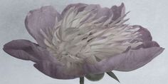 "Flowers in Neutral Moment-2015 "" Peony "" Archival pigment print Printed on cotton rag fine art paper Photo by Soichi Oshika"