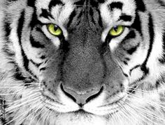 Tigre bianca, foto più affascinanti