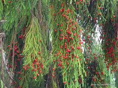 Weeping Bottlebrush, one of my favorite trees and extremely beautiful next to a water garden. Flowering Shrubs, Trees And Shrubs, Water Garden, Garden Plants, Bush Garden, Australian Wildflowers, Australian Native Garden, Tree Seeds, Exotic Plants