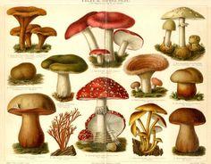 Poisonous mushrooms,fungi - Original Antique Chromolithograph (1894)