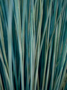 juncus grass with blue foliage is a proven winner