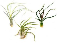 Six Air Plants - The Wild Ones - 30 Day Air Plant Guarantee - FAST SHIPPING