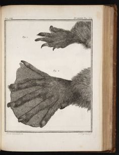 Buffon, Georges, 1760, Histoire naturelle, v.8. Plate 38, foll. page 332. :: The Grandeur of Life