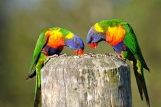 Photo Rainbow Lorikeets by Ralph de Zilva on 500px