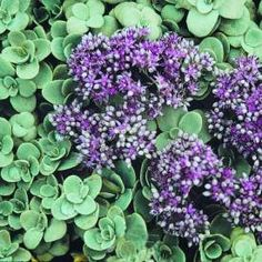 """Sedum ewersii-Pink Mongolian Stonecrop ~ Zones 2-9; Also sometimes called Hylotelephium ewersii; excellent edging or rock garden plant, particularly for hot, dry sites. It forms a low, non-spreading tuft or mound of rounded, blue-green leaves. Rose-pink star flowers appear in late summer, clustered at the ends of each stem. Deciduous in winter, trim to the ground in late fall or early spring. Nice in a gravel scree, alpine trough or mixed container. 4-6"""" tall, 6-12"""" spread"""