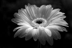 Gerber Daisy by ANNA MCALISTER
