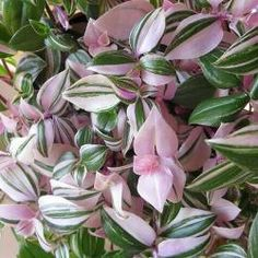 Tradescantia fluminensis tricolor  --  a pastel Wandering Jew. Also great outdoors in mixed containers for shade.