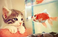 Kitty & fish...idk if the kitten is mesmerized or being taunted, lol