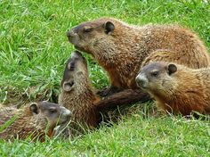 A COTERIE of groundhogs or a college of woodchucks