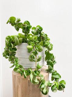 Hoya Plants, Jade Plants, Mini Plants, Indoor Plants, Snake Plant Images, Hindu Rope Plant, Succulent Images, Mother Plant, Office Plants