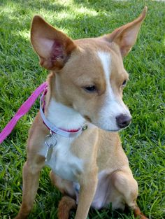 Image result for italian greyhound mix